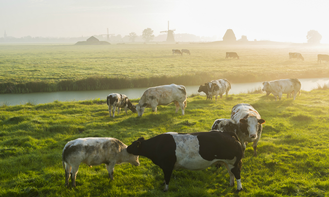 Cows graze on a misty field in Streefkerk with windmills in the background