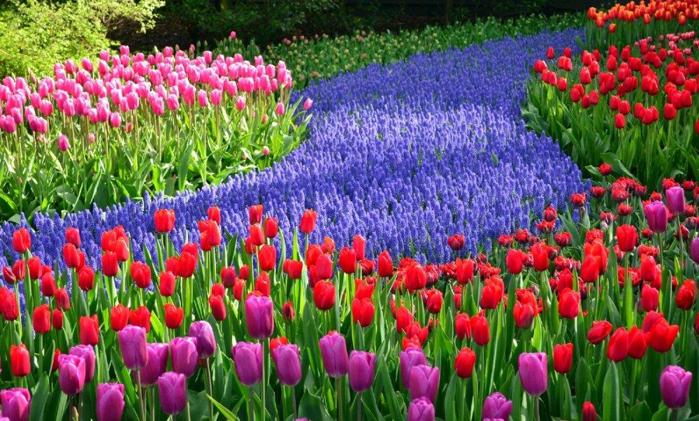 Kyugenhof Tulpen