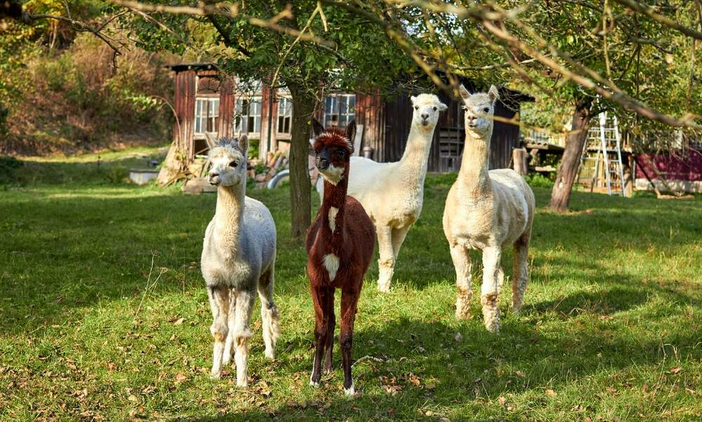 Why walk a dog, when you can walk an alpaca?