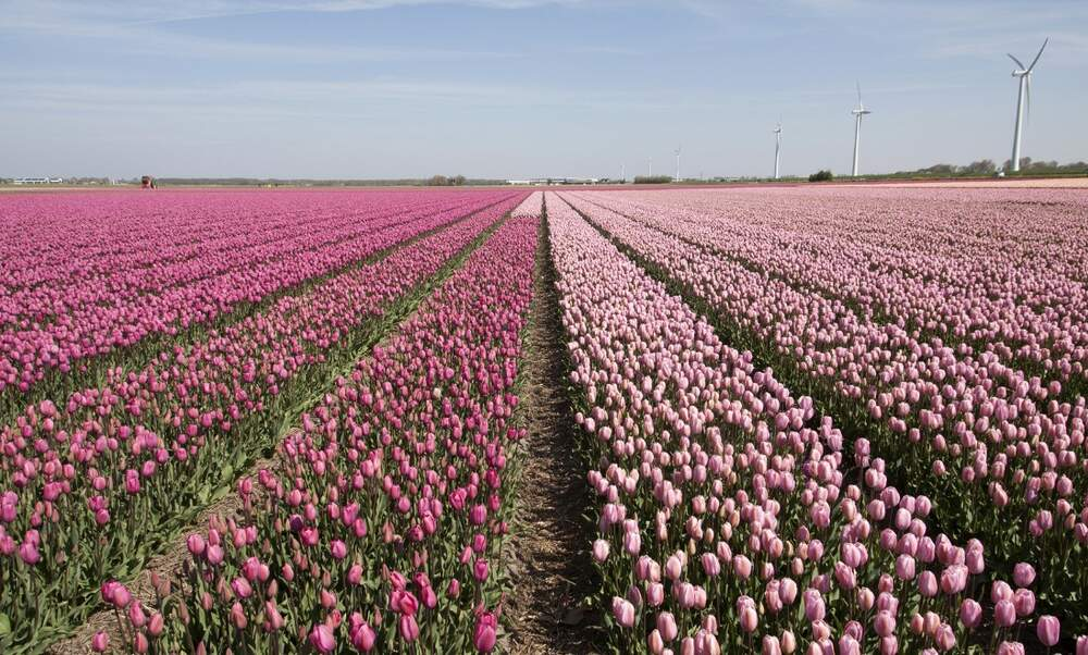 Dutch farmers sick of tulip trampling tourists resort to harsher measures