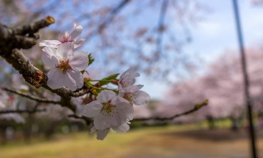 Amsterdam Cherry Blossom Festival