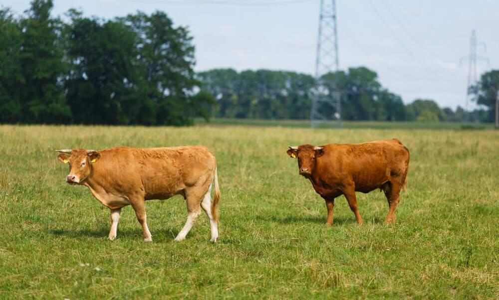 Update: Escaped Dutch cow's best friend saved