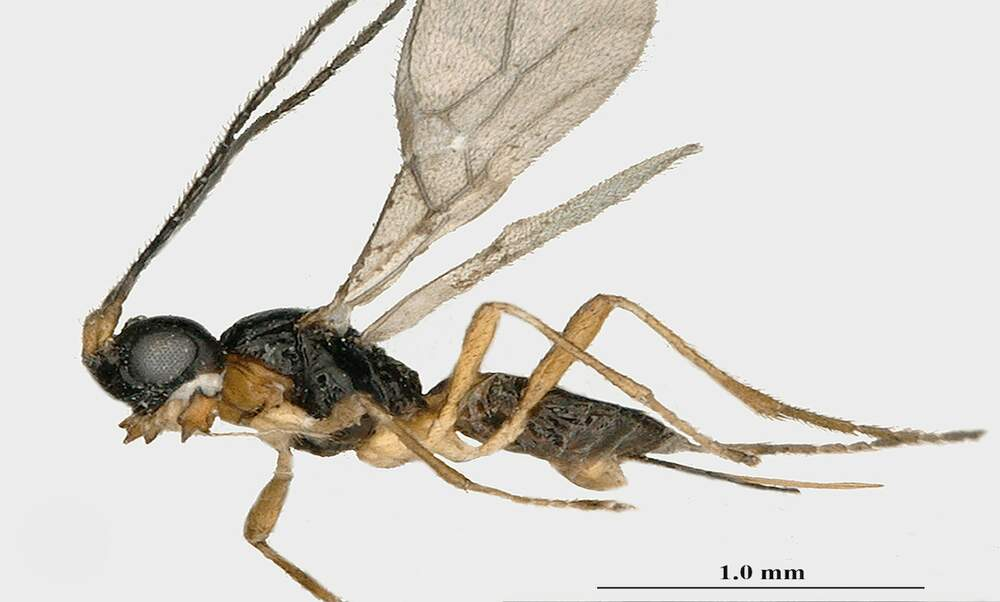 New species of wasp discovered in Vondelpark