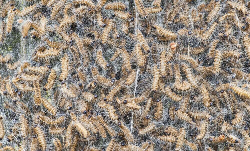 Poisonous caterpillar: More Dutch municipalities to fight it with nature