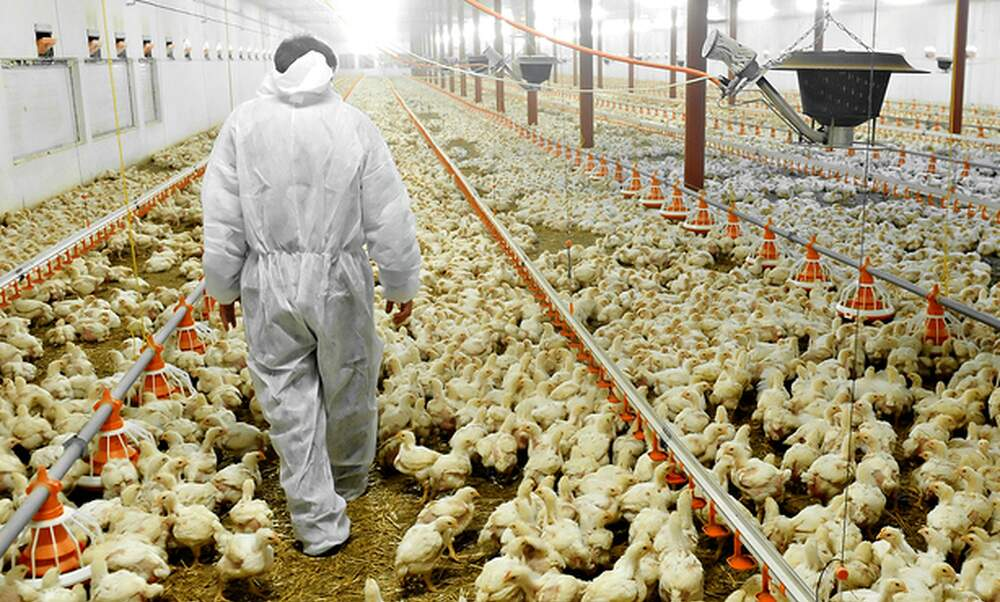 Bird flu outbreak in the Netherlands
