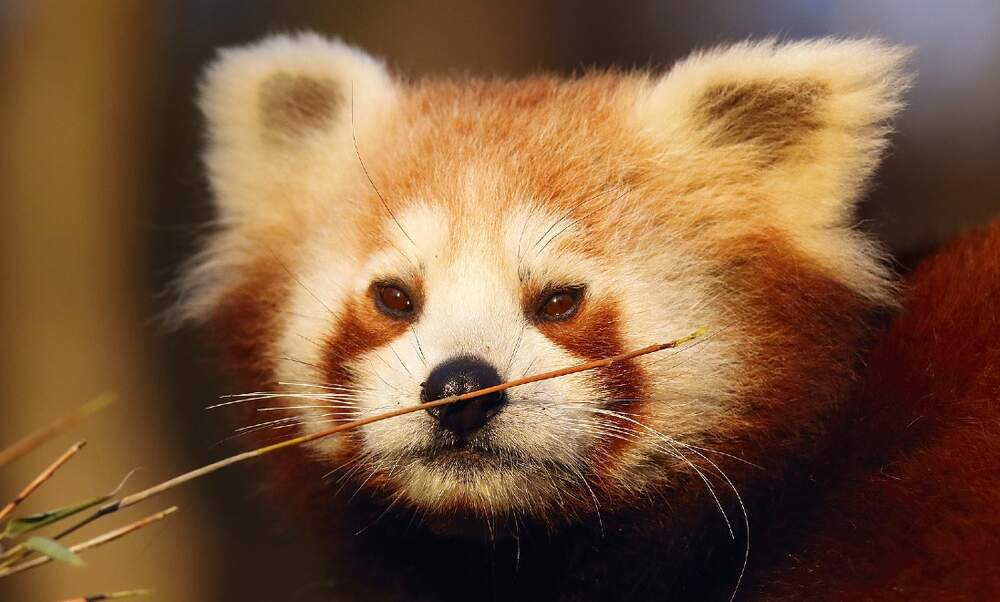 [Video] Dutch zoo welcomes adorable baby red panda