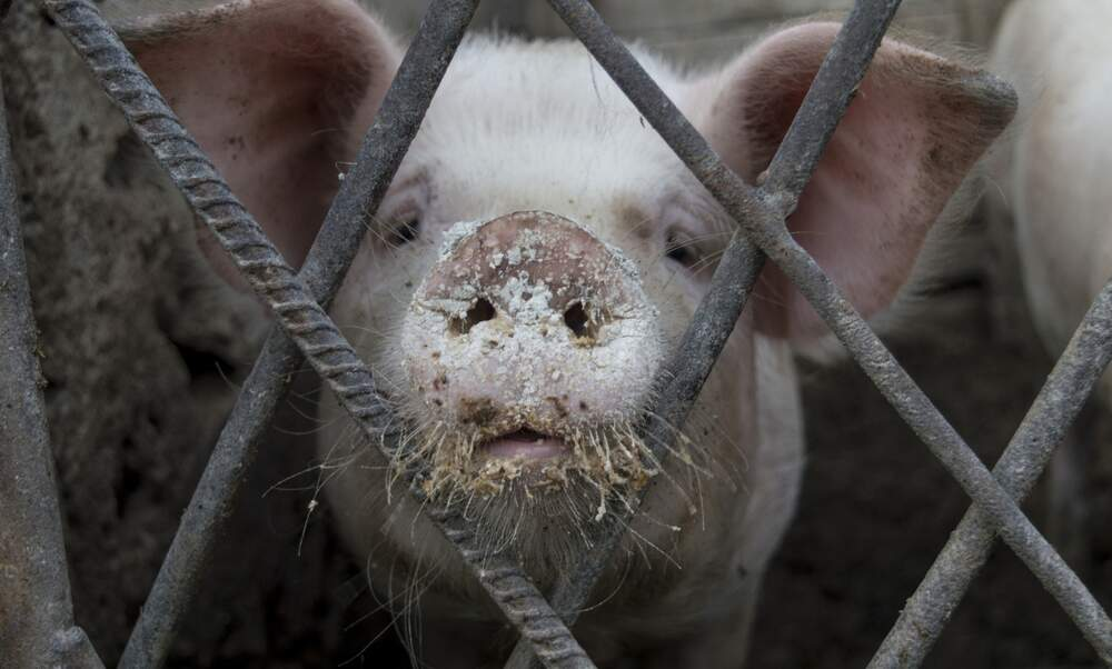 Pigs boiled alive at Dutch slaughterhouses