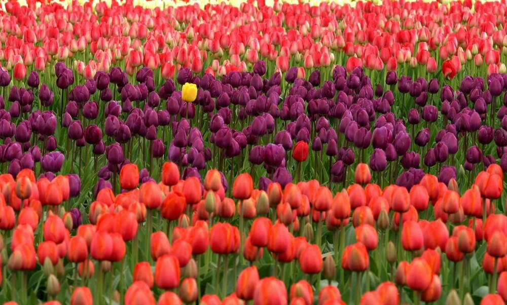 Tulip Festival of the North East Polder