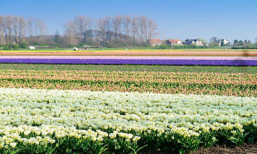 [Video] How tulip bulbs are harvested