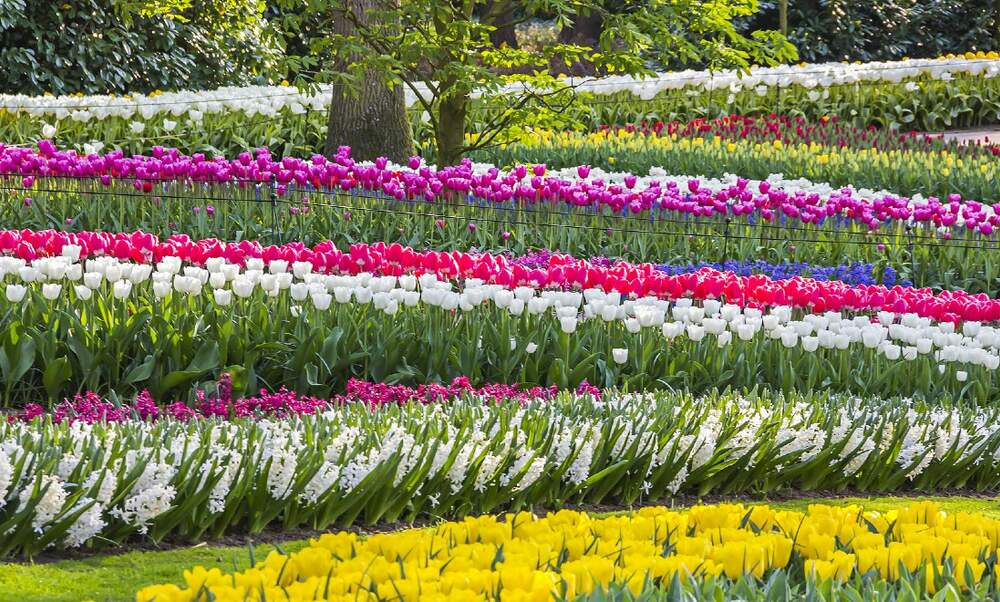 [Video] Keukenhof gardeners explain: How do they make sure the park blooms during the 8-week season?