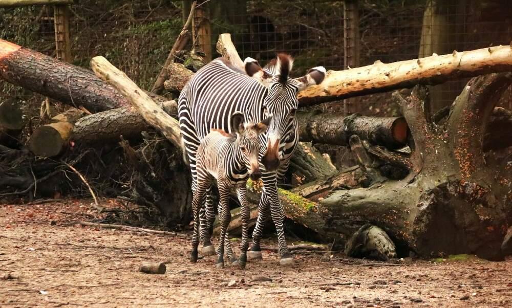 Amersfoort Aminal Park welcomes endangered zebra foal