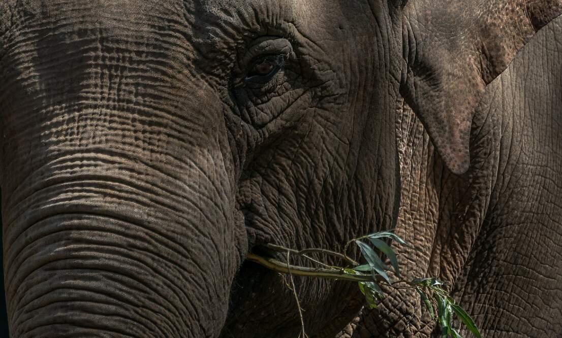Elephants at ARTIS zoo enjoy Dam Square's Christmas tree