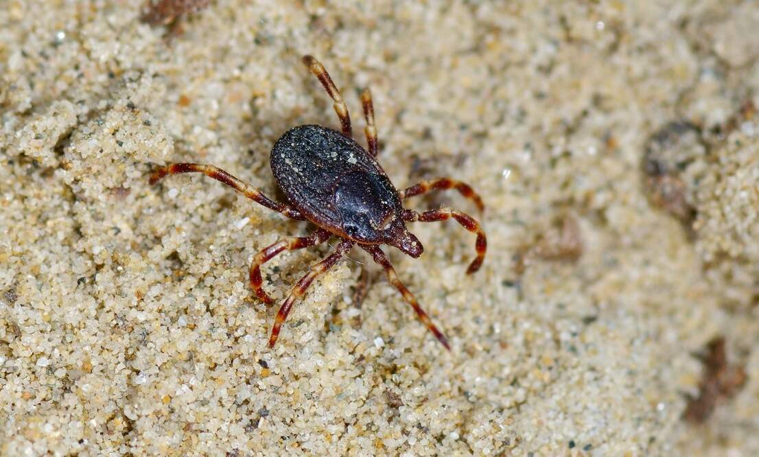 """Giant tick which """"hunts"""" its prey likely spotted in the Netherlands"""
