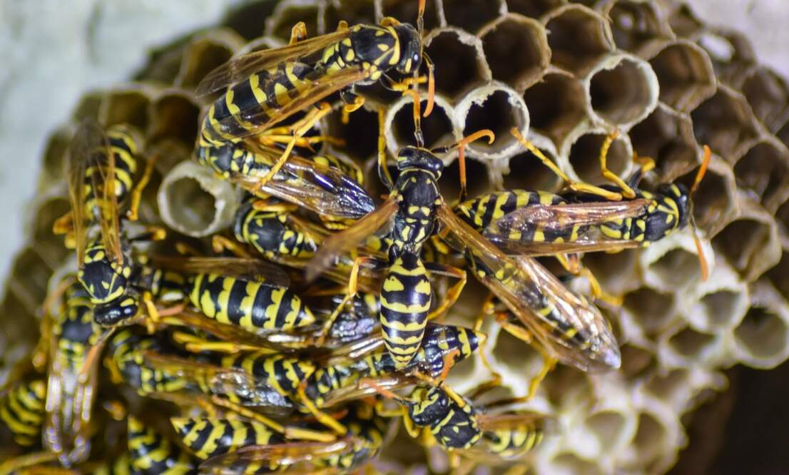More wasp nests in the Netherlands compared to last year