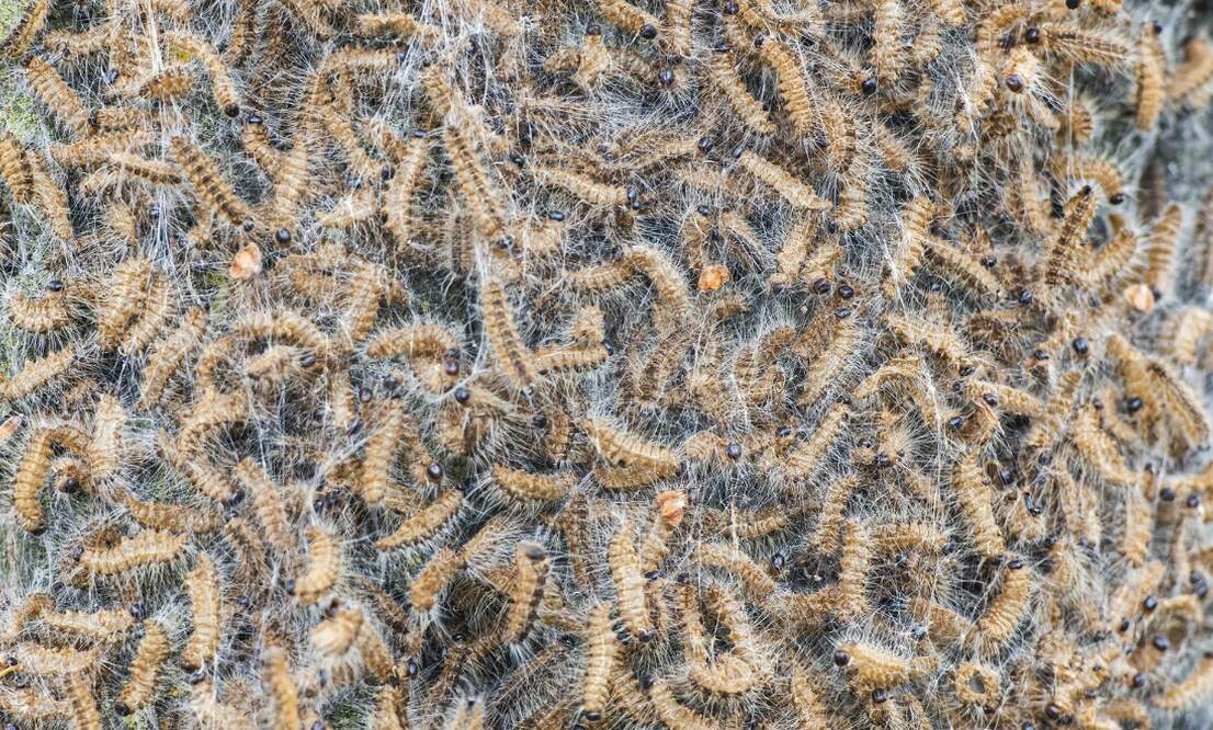 Dozens of people with serious eye problems due to oak processionary caterpillars