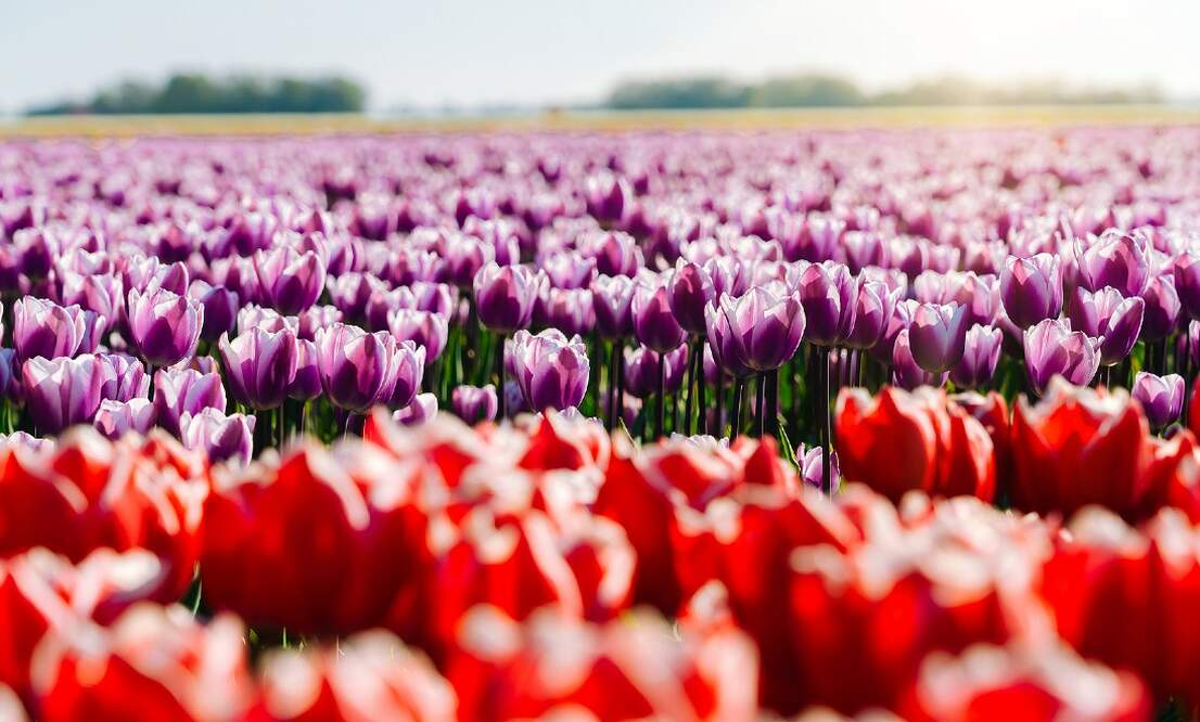 [Video] Tulip season in the Netherlands