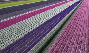 Drone footage celebrates colours, scale of Dutch flower fields