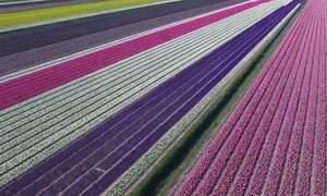 Drone footage celebrates colours, scale of Dutch flower fields