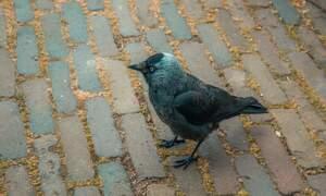 Dutch police arrest naughty shoplifting bird