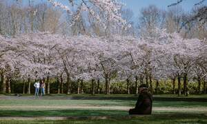 Get outside and enjoy cherry blossom season in the Netherlands