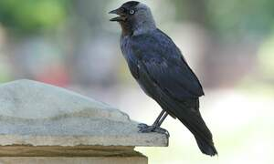 Dutch start-up to train crows to pick up cigarette butts