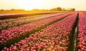 [Video] Gorgeous Dutch tulips