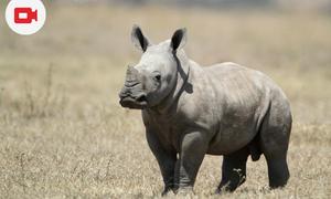 Baby Rhino Vince Just Born at Arnhem Zoo