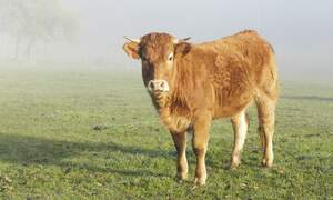 Dutch cow escapes and crowdfunding saves her from slaughter