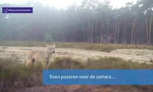 Unique images of wolf captured in the Dutch Veluwe