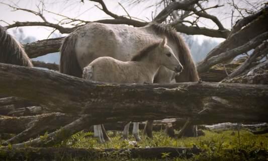The Konik horses of Oostvaardersplassen