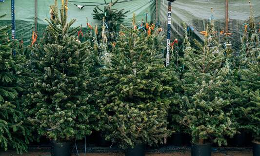 Beware! There's a bauble-less Christmas tree on the loose