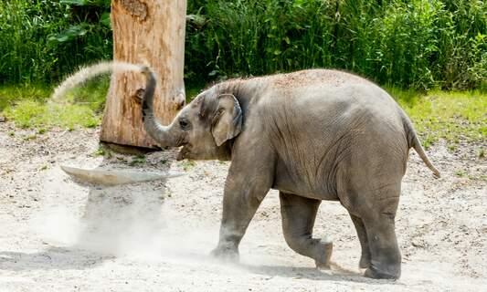 Dam Square Christmas tree donated to the elephants of Artis Zoo