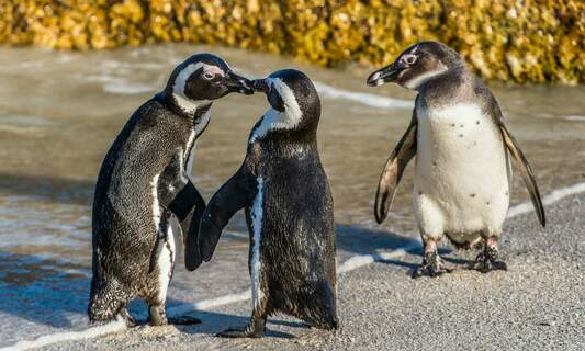 Gay penguin couple steal egg at Amersfoort zoo