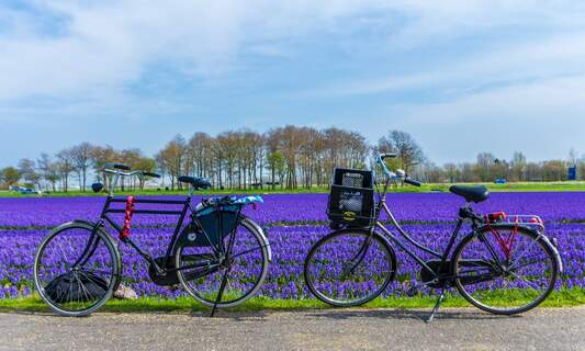 New campaign to stop tourists trampling tulips in Dutch tulip fields