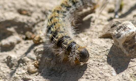 The first oak processionary caterpillars are almost ready to hatch