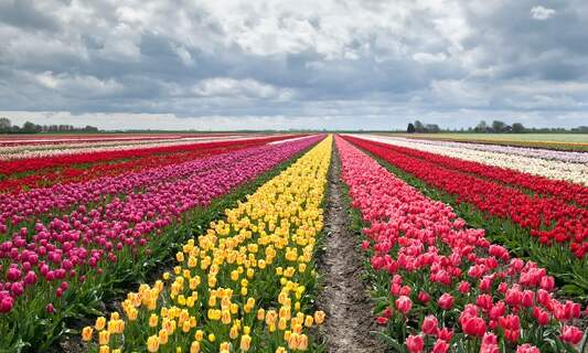 Tulipmania: the craze for the Netherlands' favourite flower