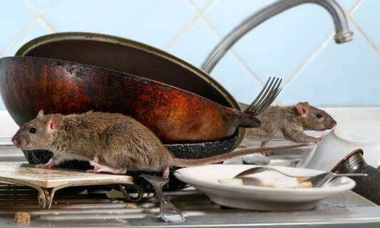 The Netherlands could soon be experiencing an unprecedented plague of rodents