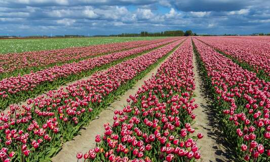4 places to see tulips that are not the Keukenhof